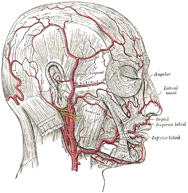 Артерии лица и черепа