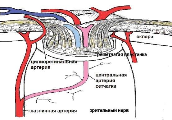 Схема кровоснабжения сетчатки при наличии цилиоретинальной артерии