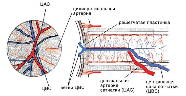 Схема кровоснабжения сетчатки и зрительного нерва при слиянии ветвей центральной вены сетчатки до входа в решетчатую пластинку