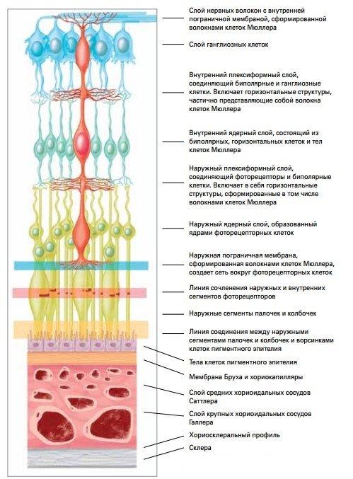 Строение сетчатки и хориоидеи