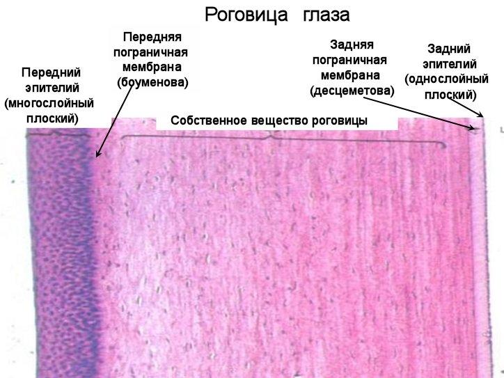 строение роговицы